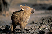 Portrait of a young Wild Boar in the near of his mother.