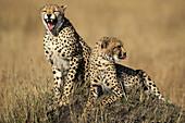 Two Cheetahs (Acinonyx jubatus ) on an old termite hill, one is yawning. Masai Mara, Kenya.