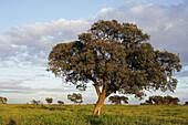 Holm Oaks (Quercus rotundifolia). Sevilla, Andalusia, Spain