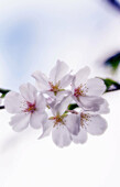 Cherry Blossom. Prunus serrulata, April 2006. Maryland, USA.