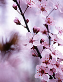 Außen, Baum, Bäume, Blume, Blumen, Botanik, Detail, Details, Empfindlich, Farbe, Frühling, Jahreszeit, Jahreszeiten, Natur, Pflanze, Pflanzen, Rosa, Tageszeit, Zweig, Zweige, S68-482362, agefotostock