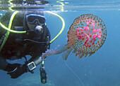 Jellyfish (Pelagia noctiluca), Mediterranean Sea. Malaga Coast, Andalusia, Spain