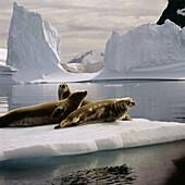 Weddell Seals (Leptonychotes weddelli). Antarctica. South Pole