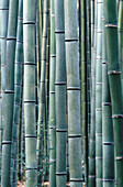 Grove of bamboo in the Sagano district of Kyoto city. Kyoto. Japan.