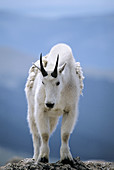 A mountain goat poses atop a rocky outcrop at over 14,000 on Mt. Evans summit in Colorado, USA.