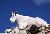 A mountain goat rests atop granite boulders high on the slopes of Mount Evans, Colorado, USA.