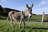 Female domestic donkey, (Cotentin breed). France