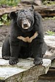 Asiatic black bear (Selenarctos thibetanus) captive