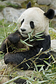 Giant panda male eating bambo (Ailuropoda melanoleuca) captive