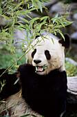 Giant panda eating bambo (Ailuropoda melanoleuca) captive