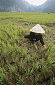 Using only a hand-sickle, a woman cuts a failed rice crop. Ba Be. Bac Can province. Vietnam.