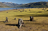 Stumps of dead trees once covered by water at Vallectio reservoir, Colorado. USA