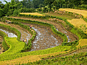 workers on rice terraces, Yuanyang, China