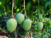 Alphonso mango hanging on a tree. Mangifera indica L. _ Anacardiaceae, Alphonso mango. The flesh of a mango is peachlike and juicy, with more or less numerous fibers radiating from the husk of the single large kidney_shaped seed.Ratnagiri. Maharasthra, I