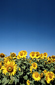 Sunflower Field and Clear Blue Sky