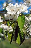 European Horse Chestnut (Aesculus hippocastanum) flowers