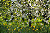 Blossoming fruit tree, Altes Land, Lower Saxony, Germany
