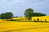 Europe, Germany, Mecklenburg-Western Pomerania, isle of Rügen, canola fields near Jarnitz