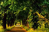 Europe, Germany, Mecklenburg-Western Pommerania, isle of Rügen, avenue of trees near Lancken-Granitz