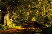 Europe, Germany, Mecklenburg-Western Pommerania, isle of Rügen, Mustizer tree alley, near Zirkow