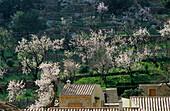 Europe, Spain, Majorca, Caimari, bloomy almond trees