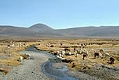 Alpacas on the altiplano, Peru, South America