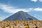 Lama in font of Lascan volcano, San Pedro de Atacama, Chile, South America