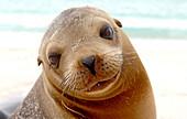 Sea lion, Galapagos Islands, Ecuador, South America