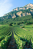 Vineyards. Montmélian. France