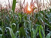 Cornfield at sundown