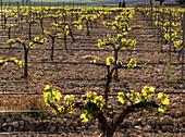 Vineyard. Almansa, Albacete province. Spain