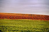 Field near Almansa. Albacete province, Castilla-La Mancha. Spain