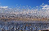Sandhill Crane (Grus canadensis) and Snow Goose (Chen caerulescens). New Mexico. USA