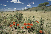 Fireball Lily, African Blood Lily (Scadoxus multiflorus). Masai Mara wildlife reservation, Kenya