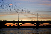 Mexican free-tailed bats (Tadarida brasiliensis). Sunset, Worlds largest urban bat colony. Congress Avenue Bridge. Austin, Texas. USA.