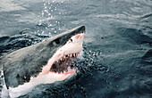 Great white shark (Carcharodon carcharias) attacking at the surface. All oceans, temperate and tropical seas