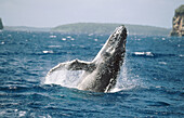 Humpback whale (Megaptera novaeangliae) calf breaching behaviour. Breeding migration from Polar to Tropics. All oceans