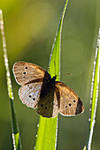 Ringlet butterfly with dew, Aphantopus hyperanthus, Upper Bavaria, Germany