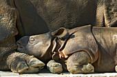 Great Indian Rhino, baby sleeping by its mother, captive Rhinozeros unicornis