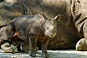 Young Great Indian Rhino with mother, Rhinoceros unicornis