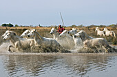 Camargue horses with Guardian, Camargue, France
