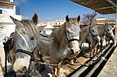 Camargue horses, Camargue, France