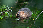 Beaver eating willow, Castor fiber, Alaska, USA