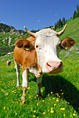 alpine cows on alpine pasture, German Simmental (Spotted Mountain Cattle), Chiemgau range, Chiemgau, Upper Bavaria, Bavaria, Germany