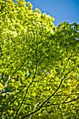 Baum mit grünen Blättern im Frühling bei Sonnenschein im Englischen Garten in München, Bayern, Deutschland