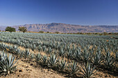 Guadalajara State.Tequila City. Agave Valley.Tequila plantation. Mexico.