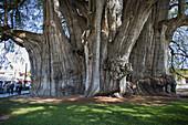 Oxaca State. Near Oaxaca City. Tule City. The Tule Tree