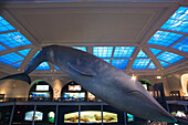 BLUE WHALE MODEL OCEAN LIFE HALL. AMERICAN MUSEUM OF NATURAL HISTORY. MANHATTAN. NEW YORK. USA
