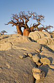 Baobab (Adansonia digitata). In the early morning at the isolated Kubu Island, a mysterious rock island at the western edge of Sowa Pan, a salt pan which is part of the vast Makgadikgadi Pans, Botswana