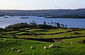 Sheep grazing on green pasture, meadow with dry stone walls, Louch Corrib, Connemara, Co. Galway, Ireland, Europe